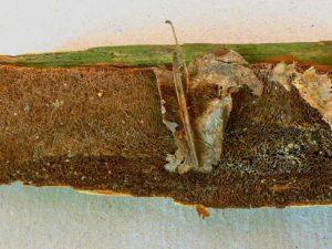 Fuscoporia contigua Großporiger Feuerschwamm