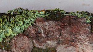 Peniophora quercina_Eichen Zystidenrindenpilz