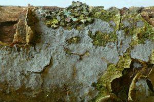 Peniophora aff. lycii Graublauer Zystidenrindenpilz