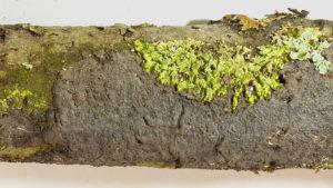 Peniophora-rufomarginata