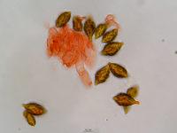 Hymenogaster spec