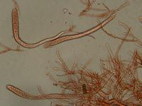 Russula queletii - Stachelbeer Täubling