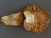 Russula camarophylla - Schnecklings -Täubling