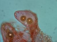 Genabea cerebriformis - Gewundener Hohltrüffel